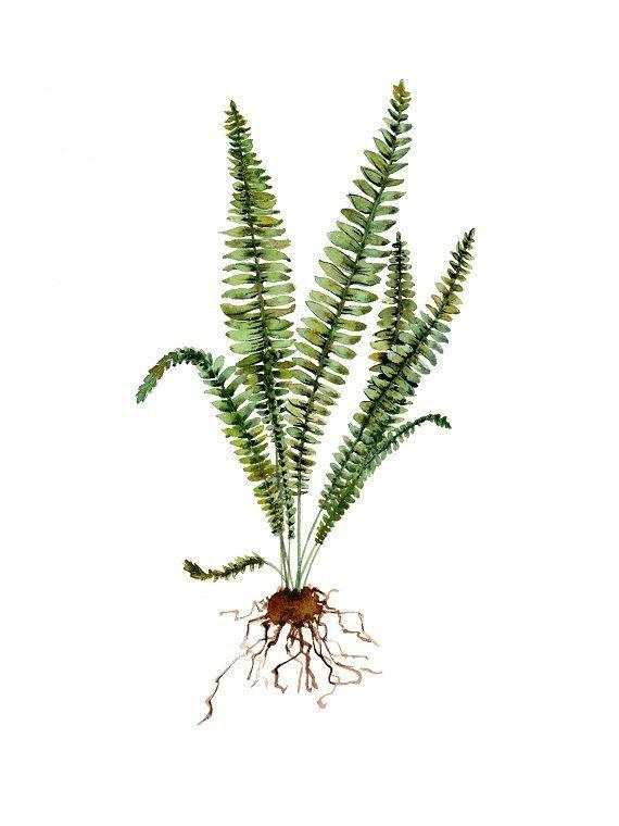 Fern, Watercolor Fern, Fern Print, Fern Illustration, botanical ...