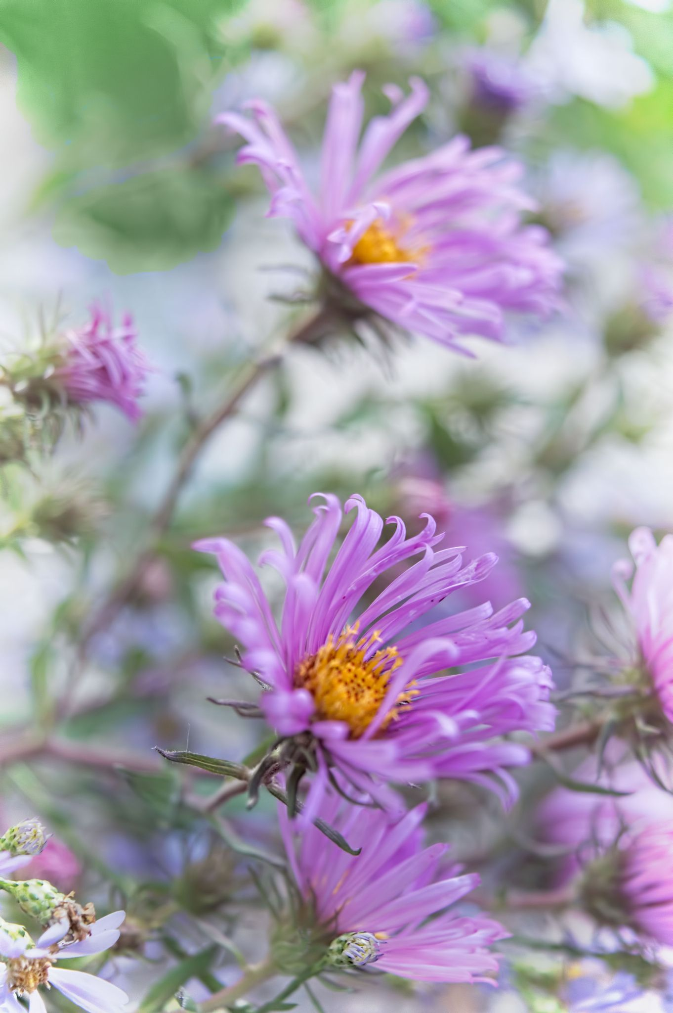 Faster Asters September birth flower Beautiful flowers