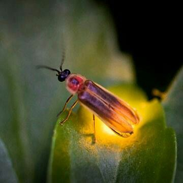 Firefly Animals Lighting Bugs Beautiful Bugs Firefly