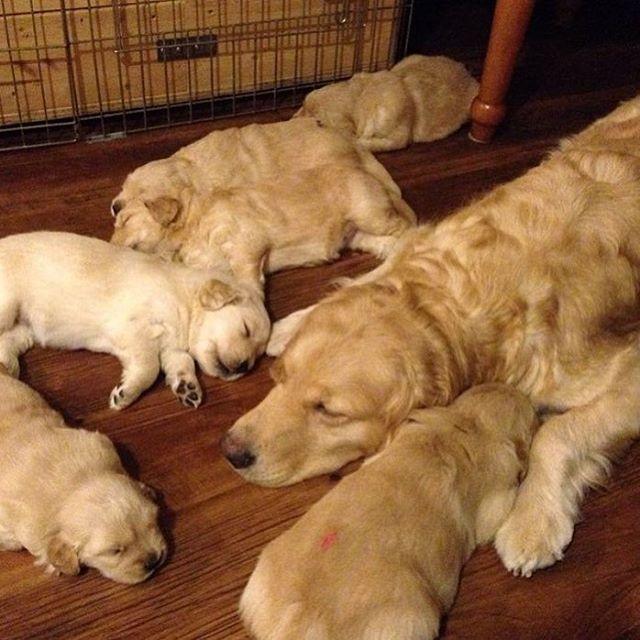 Golden Retriever Noble Loyal Companions Dog Love Golden