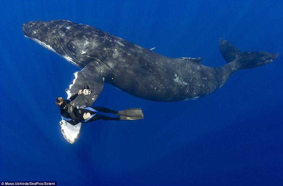 The Moment A Diver Shakes Hands With A Humpback Whale In Hawaii - Rare moment 40 ton whale jumps completely out of the water