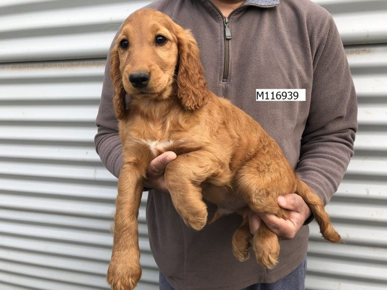 Spoodle For Sale In Melbourne Ameys Puppies Spoodle Puppies Puppies For Sale