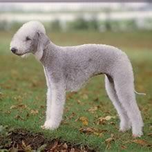Bedlington Terrier Terrier Dog Breeds Bedlington Terrier Puppy