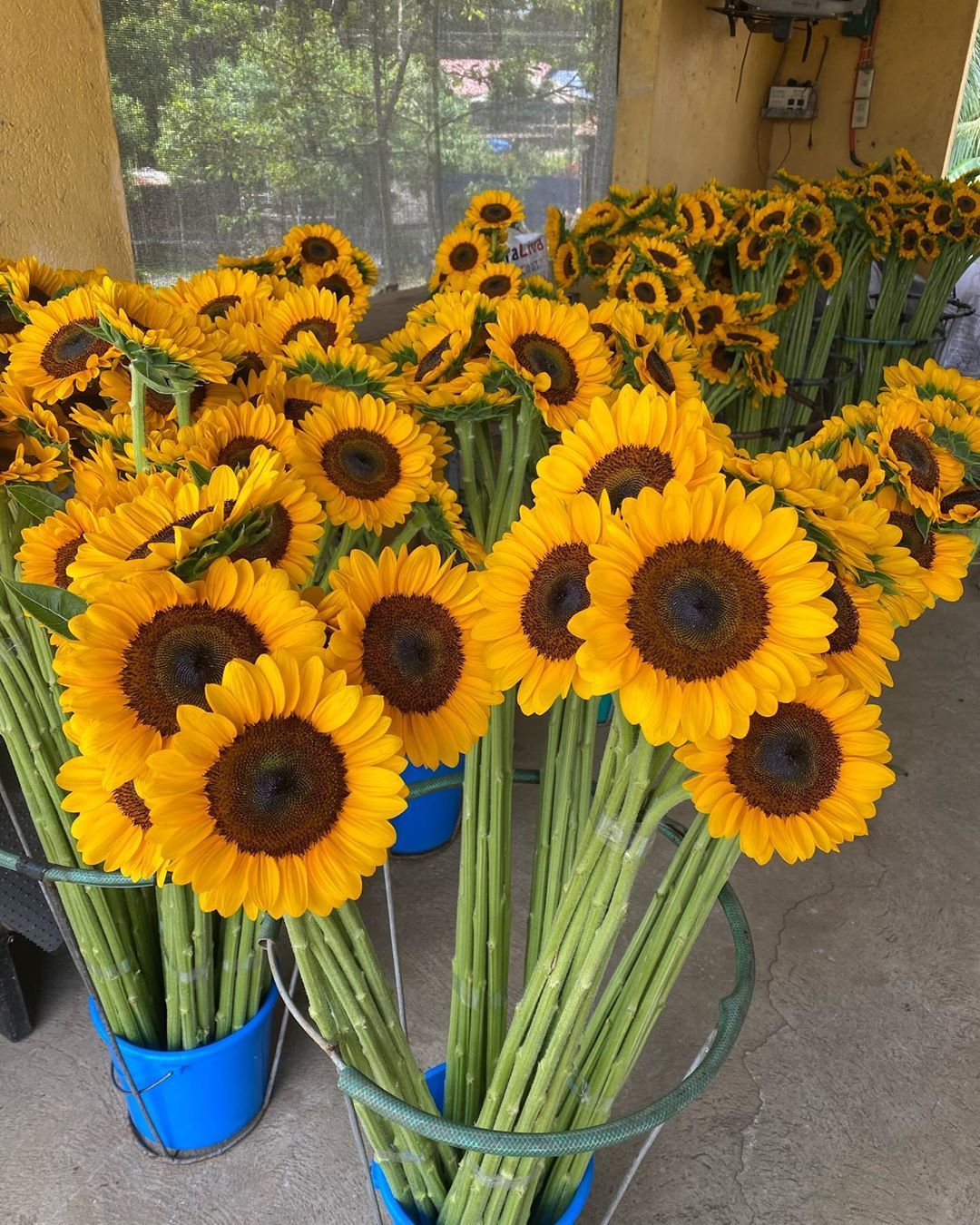 Rise And Shine Happy Faces Sunflowers Dm Me For Your Orders Flowers Flowershop Flowerstagram Flower Sunfl In 2020 Flower Quotes Flower Shop Sunflower