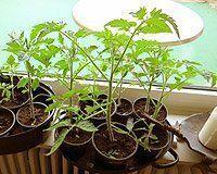 Tomaten anbauen: Tomaten selber ziehen / pflanzen Tomaten pflanzen selber ziehen umtopfen - #anbauen #pflanzen #selber #tomaten #ziehen - #TomatenPflanzen #tomatenpflanzen