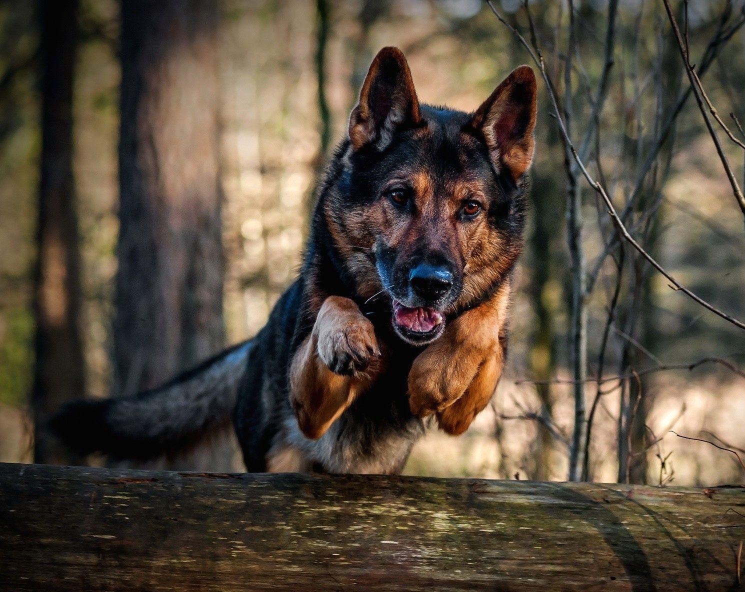 German Sheperd German Shepherd Wallpaper Military Dogs