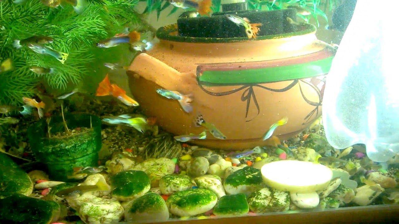 How I Feed Guppies Fish Guppy Video 2018 Fish Tank Fishing