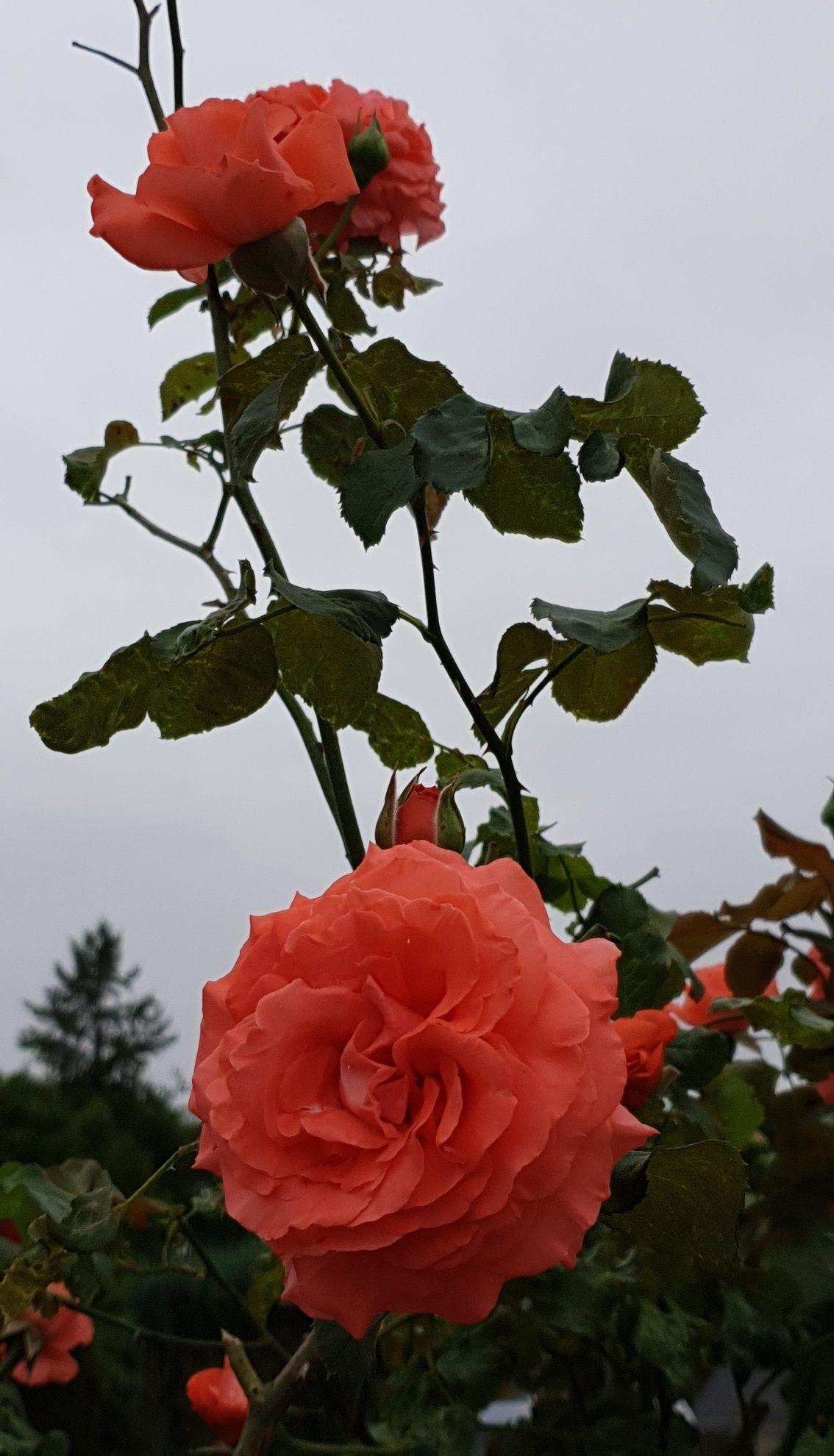 Epingle Par Desir Rachel Sur A C E En 2020 Fleurs Roses Tremieres