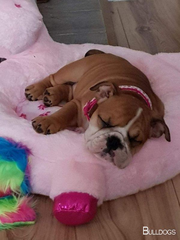 Bulldogs Puppy Bulldogsrock Bulldogsofinsta Bulldog Puppies