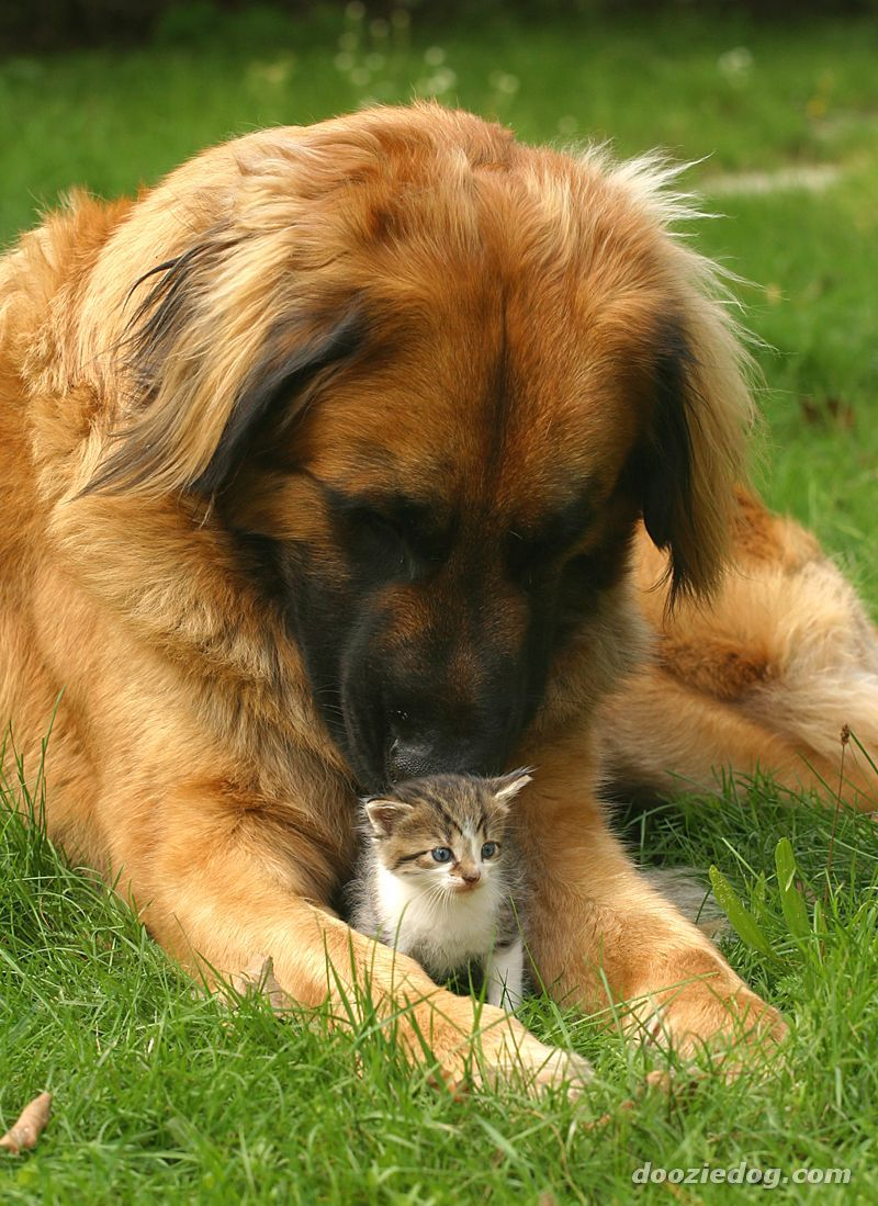 """ahh these leonbergers are like big bears i want one... they call the """"gentle giants"""" :)"""