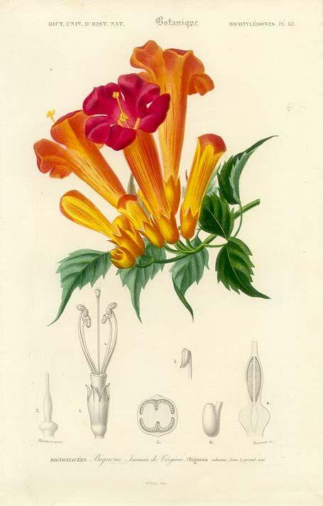 Antique print pictures of flowers - Trumpet vine | Vintage ...  Antique print p...