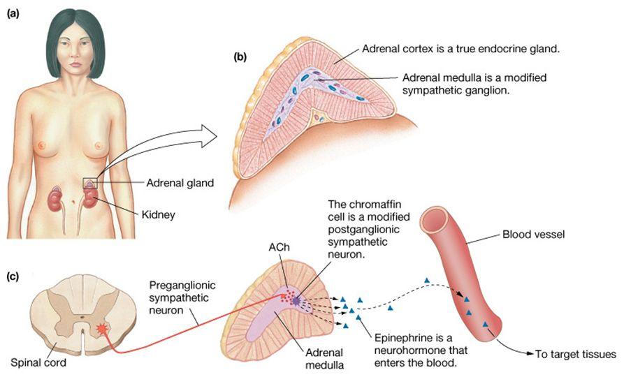 Adrenal Gland Epinephrine Production Study Pinterest