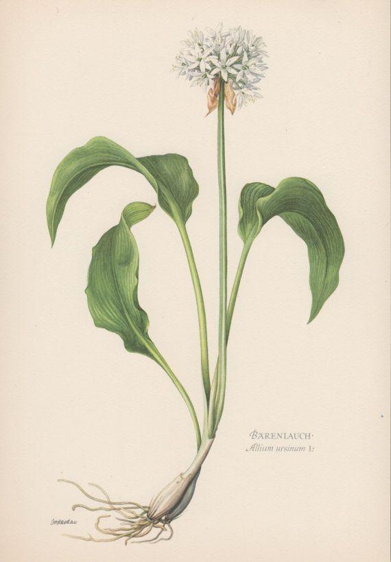 1950 39 S Botanical Print Wild Garlic Allium Ursinum Ramsons Buckrams Flora Illustration Bota Botanical Prints Botanical Illustration Plant Illustration