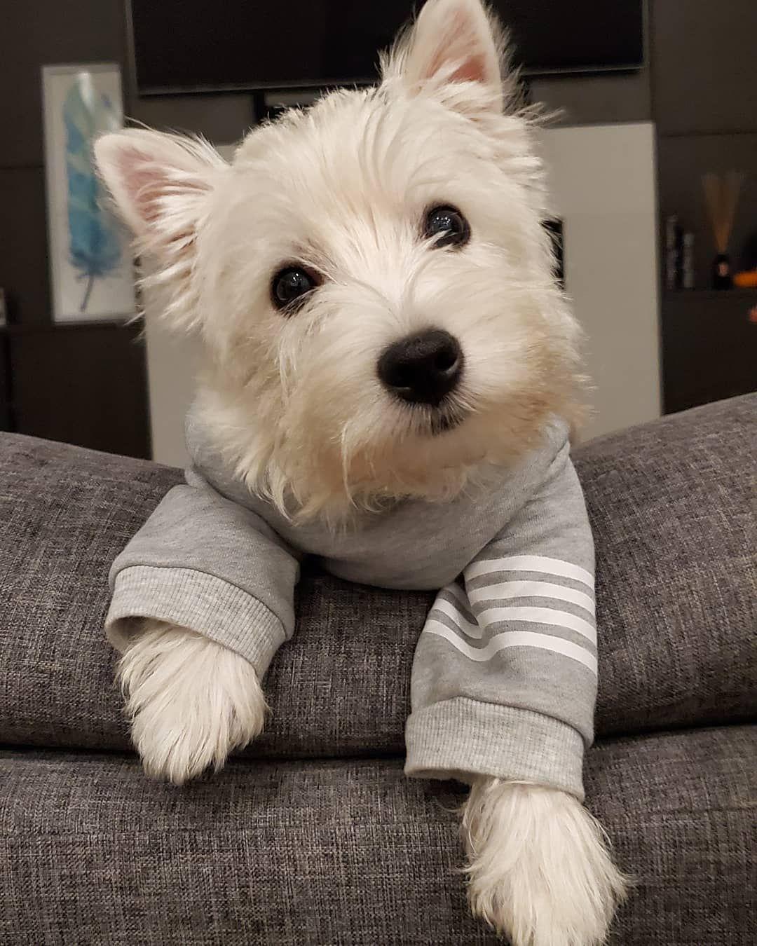 Friday Is It Friday Yet Westie Puppies Westie Dogs Terrier Dog Breeds