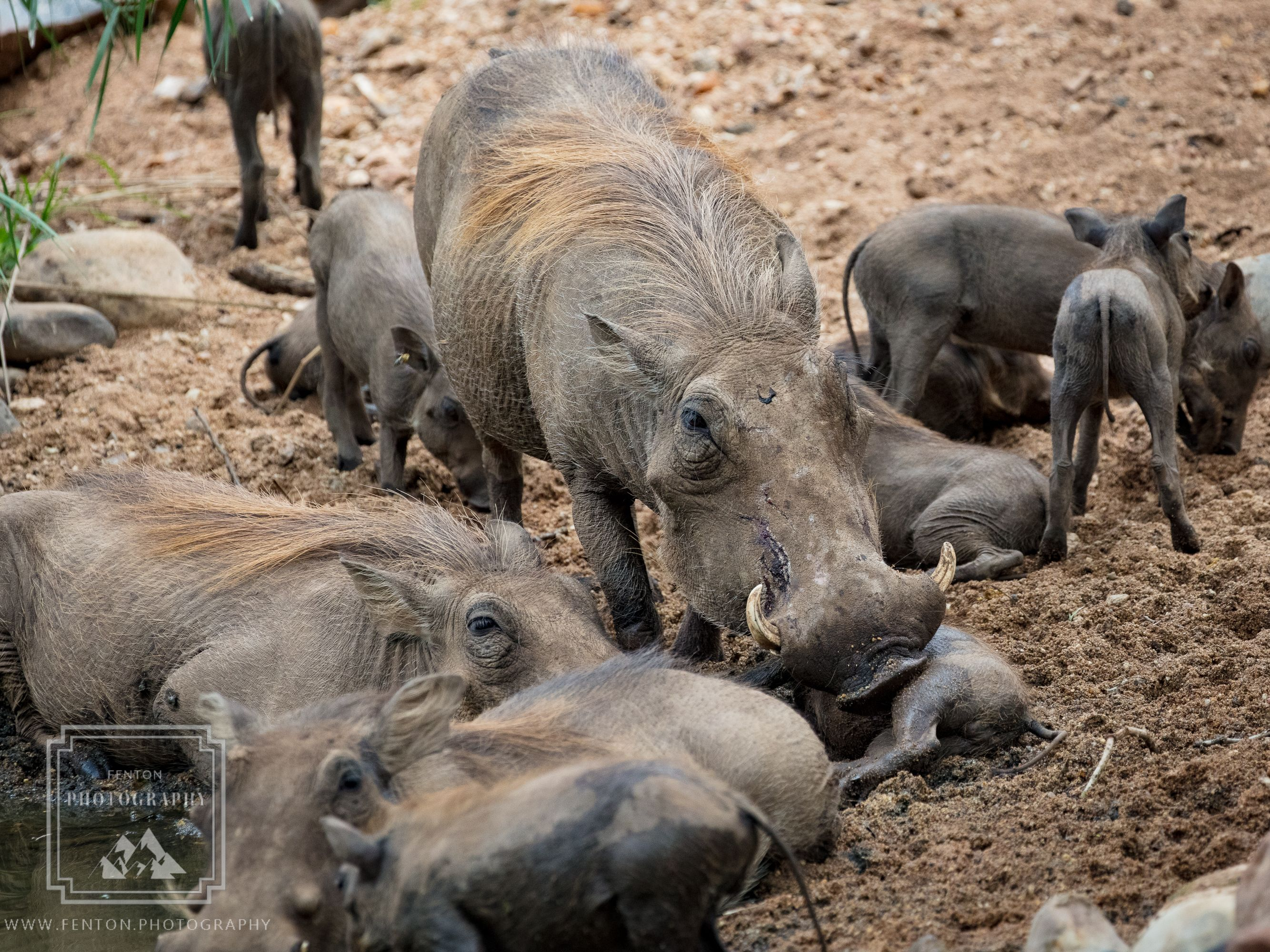 Group parenting is clearly how these adult warthogs tend their young.  #warthogs #wild_animals #wildlife #fauna #South_Africa #safari #nature @SouthAfrica @KrugerNational @NatGeoPhotos @natgeoyourshot