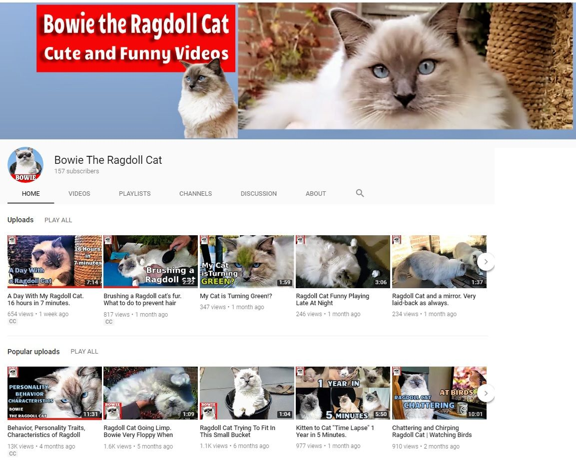 Ragdoll Cat Youtube Channel Feature Bowie The Ragdoll Cat Ragdoll Cat Ragdoll Cat Behavior