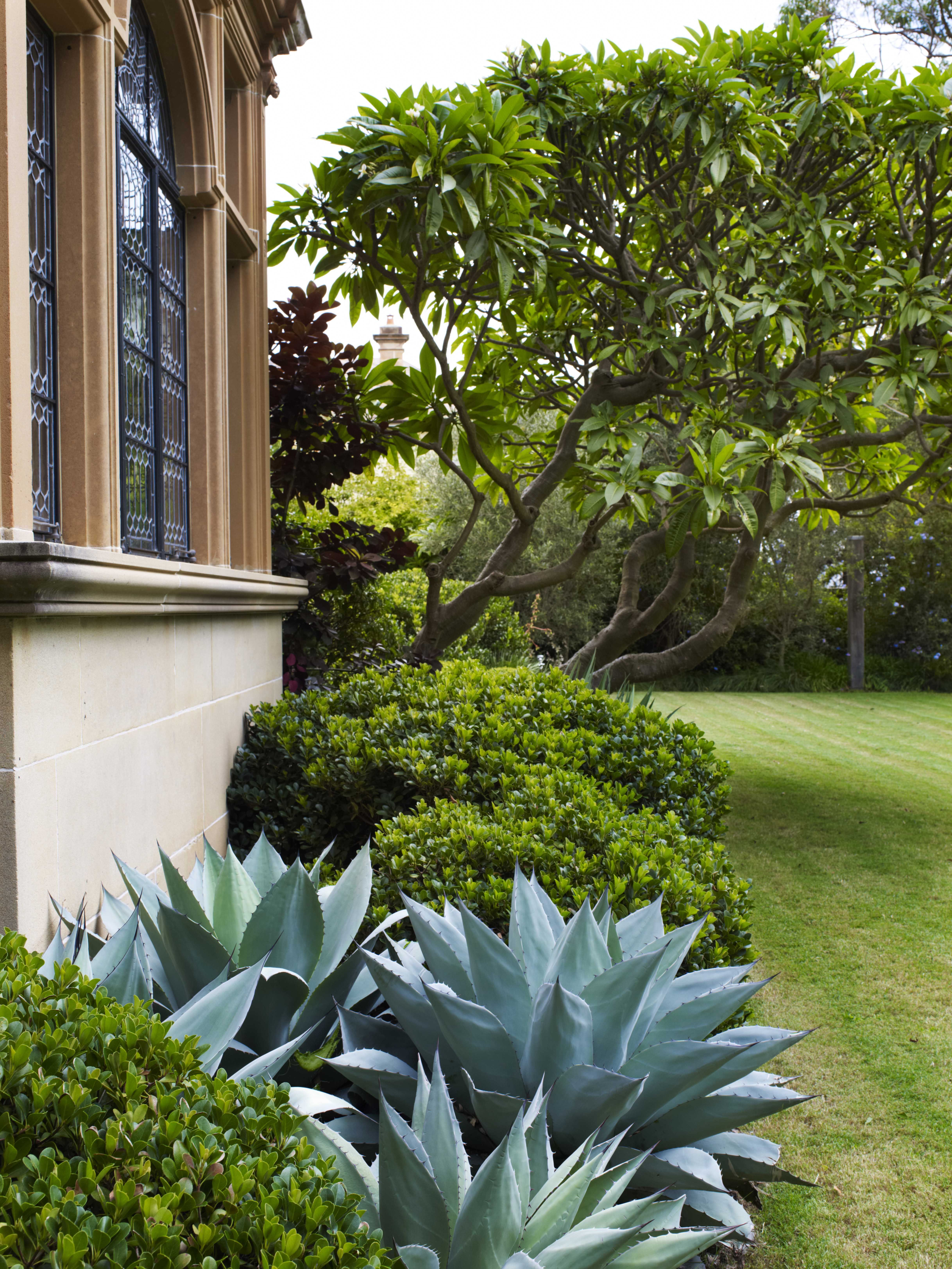 agave rhaphiolepis and plumeria bellevue hill 4
