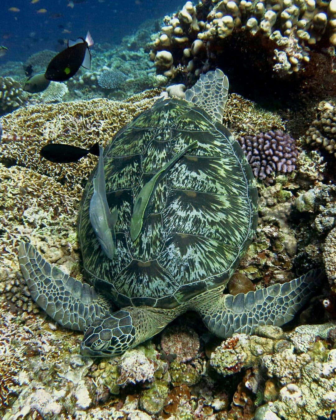 Sea Turtle Underwater Dreaming Turtle Life Ocean Animals Ocean
