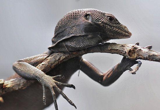 Monitor Lizard Aru Island, Indonesia