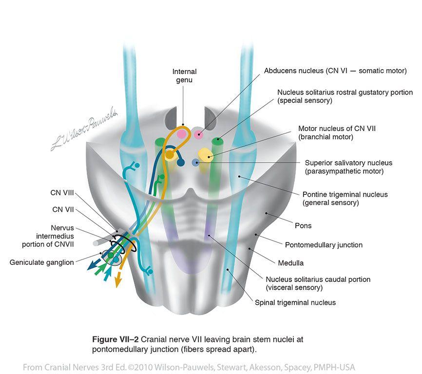 Brainstem Cranial Nerve Nuclei Facial vii - cranial nerves ...