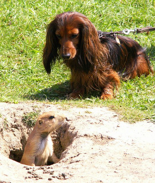 Things You Probably Didnt Know About Rabbit Dachshunds Dachshund