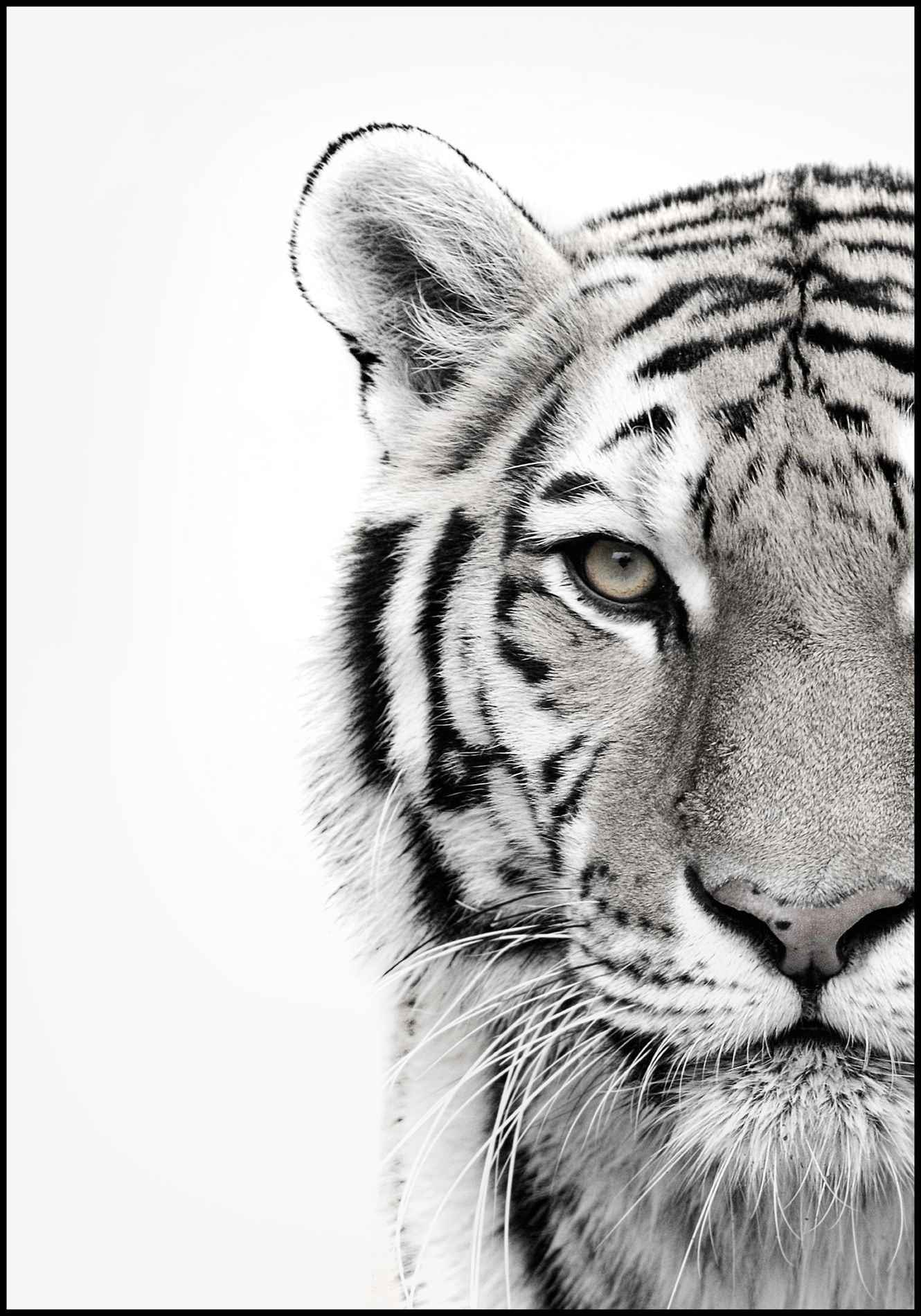 MAJESTIC TIGER PICTURE CANVAS PRINT WALL ART VARIETY OF SIZES FREE UK P/&P