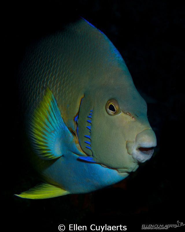 Blue Angelfish, Caribbean Sea