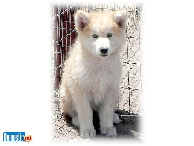 Davis California United States Wolf Dog Puppy Puppies For