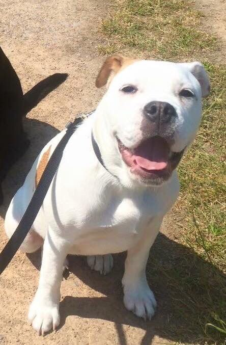 This is Buffy and she needs a forever home! She is a Bulldog X, six months old and good with kids, cats and dogs. If you are in the UK (she's currently in Wiltshire) and think you can give Buffy a forever home, please contact me on 07702 017873 or email rescue@charismaticpets.co.uk Or share if you know someone who might be interested. She is a real sweetie and being regimes due to circumstance change, no fault of her own.