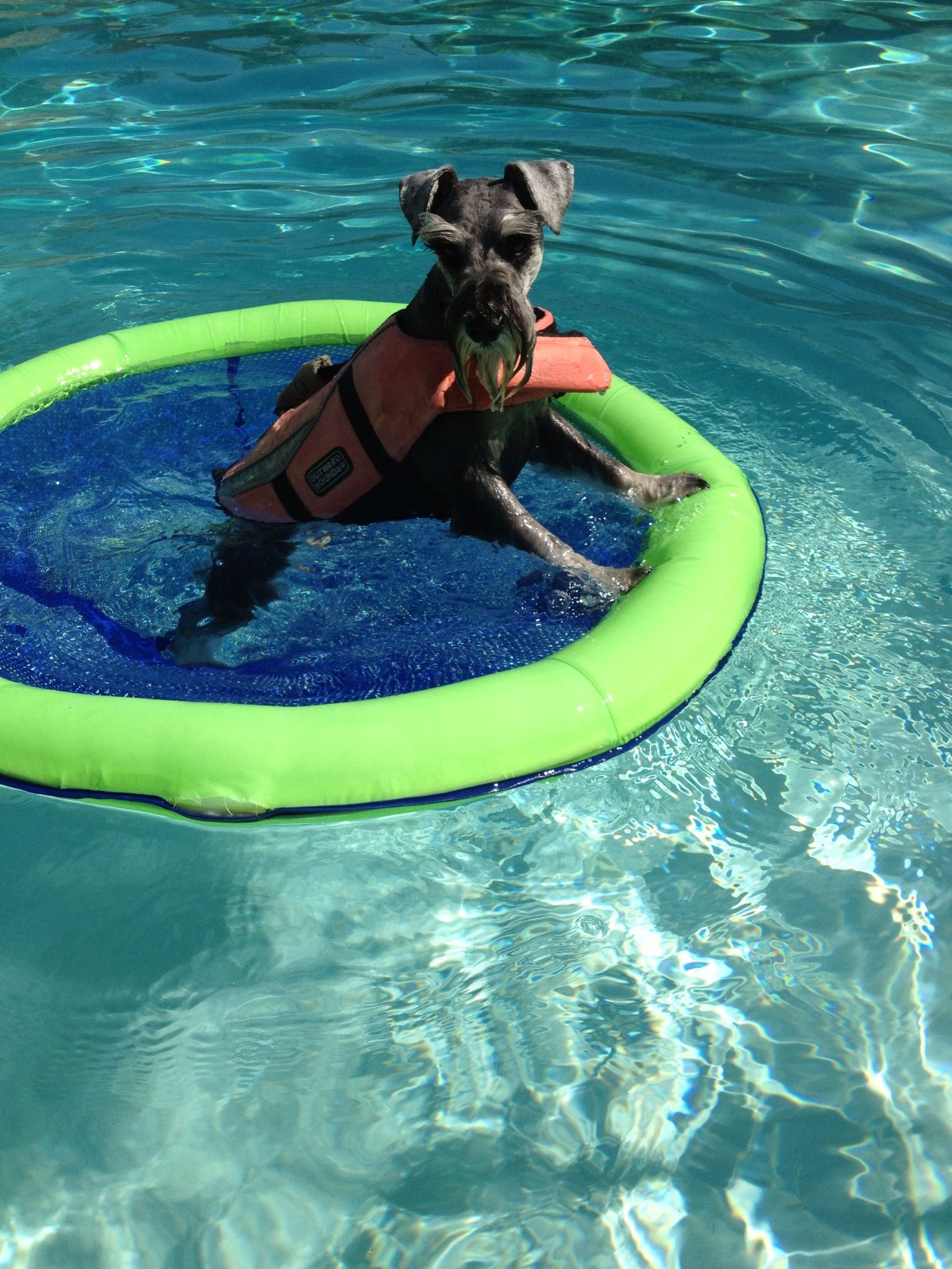 My little mini schnauzer loves to swim and found this raft - My perfect pool ...
