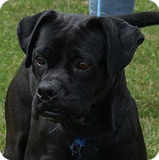 Monroe, MI Boxer Mix. Meet Spunky, a dog for adoption