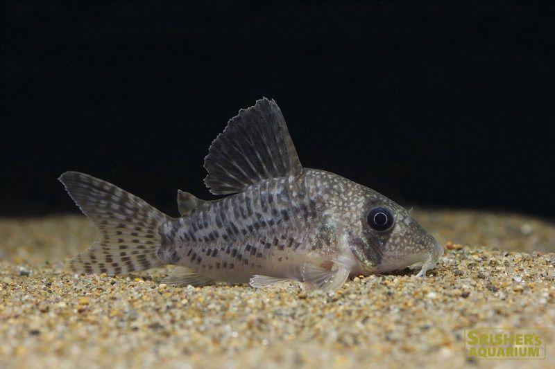 コリドラス アンチェスター サイズ 約4 5 5 5cm コリドラス 魚 探検