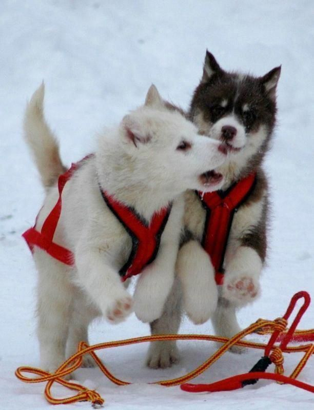 Visit our website for more relevant information on #huskies. It is actually a great area to learn more.