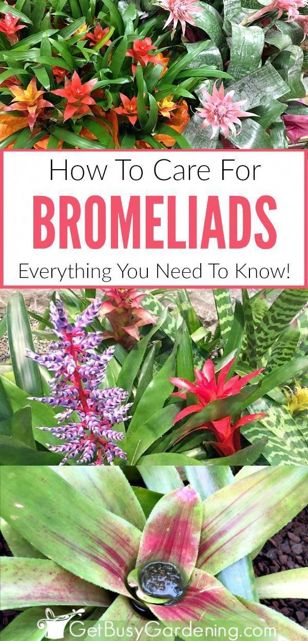 Bromeliad Plant Care: How To Grow Bromeliad House Plants #howtogrowplants