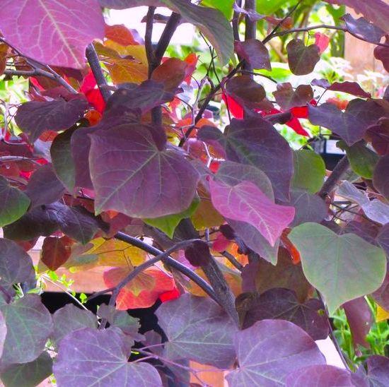 Cercis Forest Pansy Small Tree With Beautiful Purple Heart Shaped Leaves Garden Canopy Canopy Outdoor Fabric Canopy