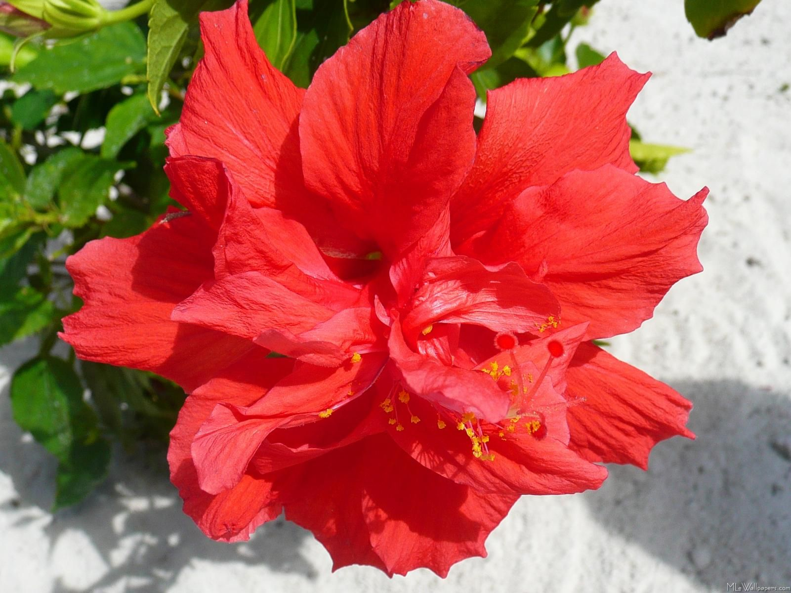 Doubleredhibiscusplant Double Hibiscus Flower Flowers