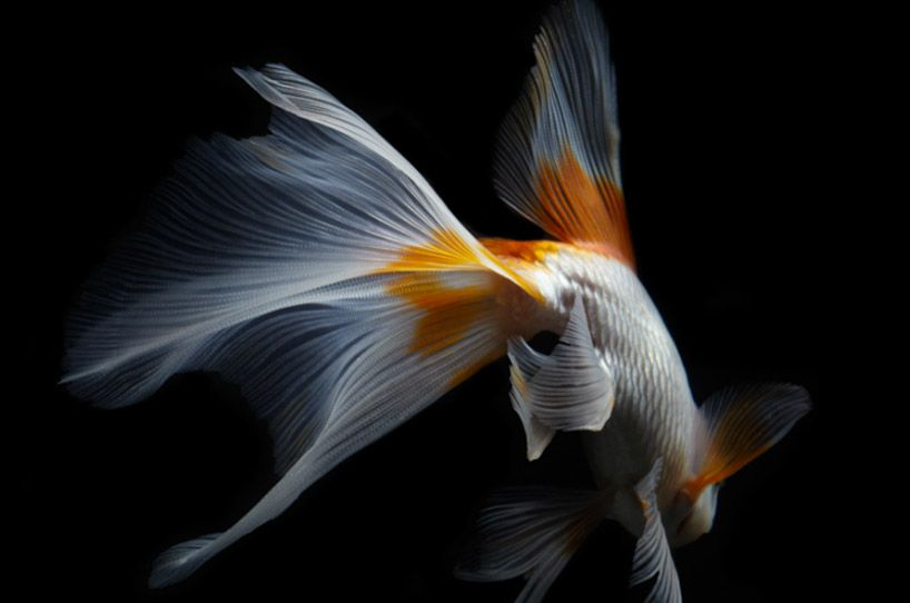Life Fish Photography Beautiful Fish Koi Koi Fish