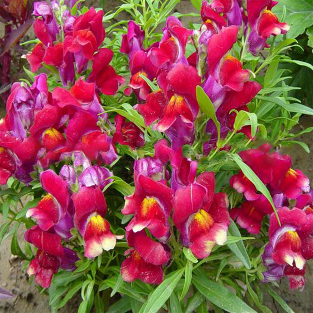 1000Pcs/Pack Common Snapdragon Flower Seeds Potted Plants