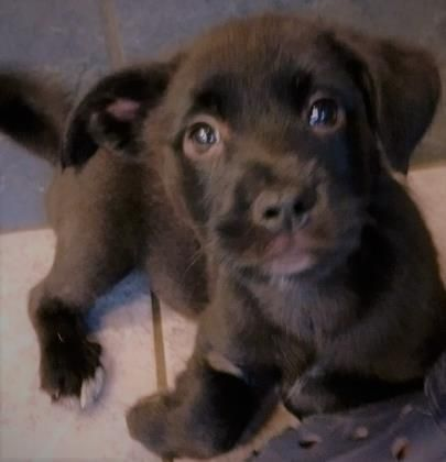Adopt Mason on Cairn terrier, Pets, Australian cattle dog
