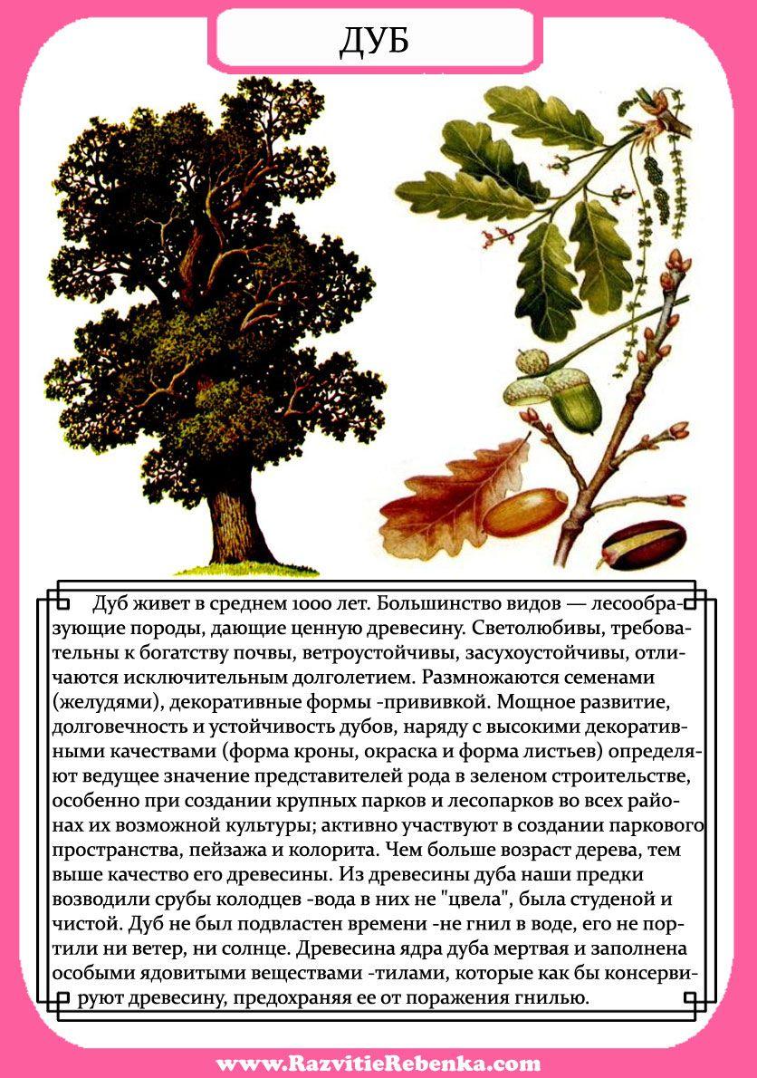 дуб дерево фото и описание фотографов