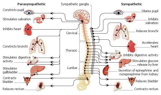 Animal Nervous System Diagram Electrical Wiring Diagrams