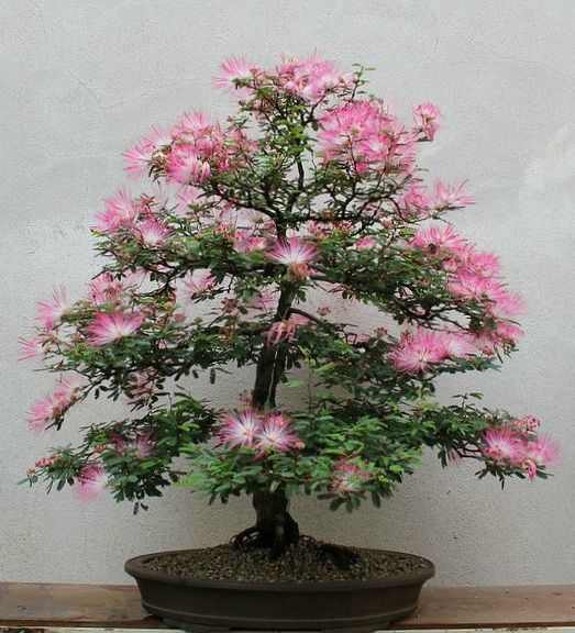 Mimosa Bonsai Artist Unknown Japanese Bonsai Tree Bonsai Trees For Sale Bonsai Tree Care
