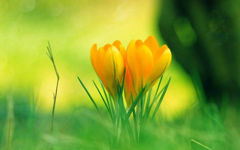 40 Beautiful Flower Wallpapers Free To Download Godfather Style In 2020 Yellow Flower Wallpaper Beautiful Flowers Wallpapers Yellow Crocus