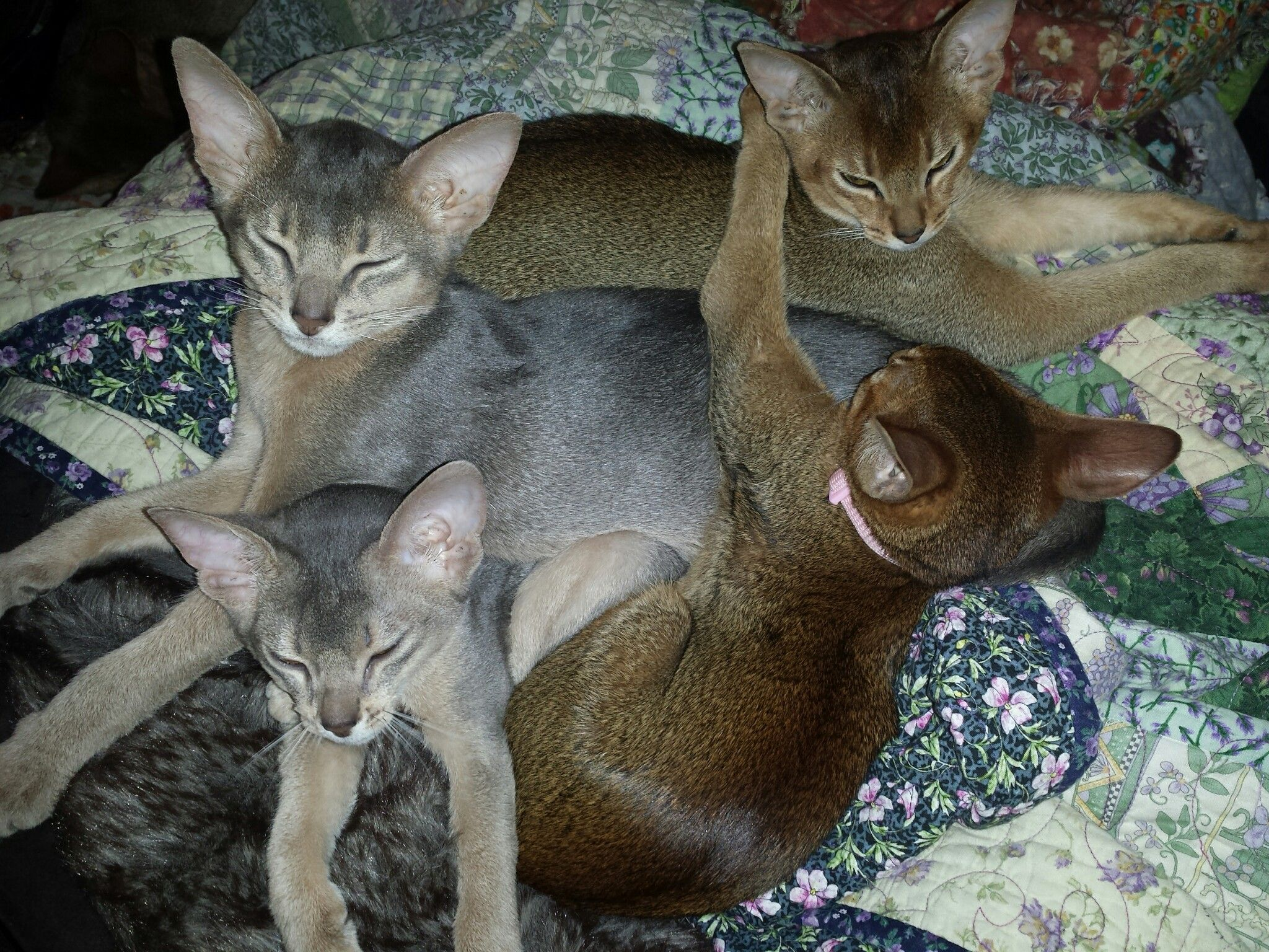 Pin by Sheryl Harmer Landstrom on My Abyssinian Life | Pinterest ...