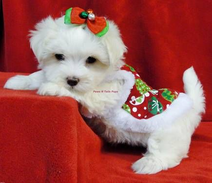 Akc Maltese Puppies Cute Dogs Christmas Puppy I Love Dogs