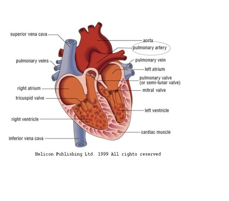 The pulmonary artery carries blood from the right ventricle to the ...