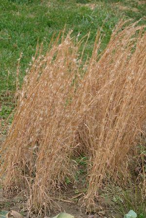Pin On Gorgeous Grasses