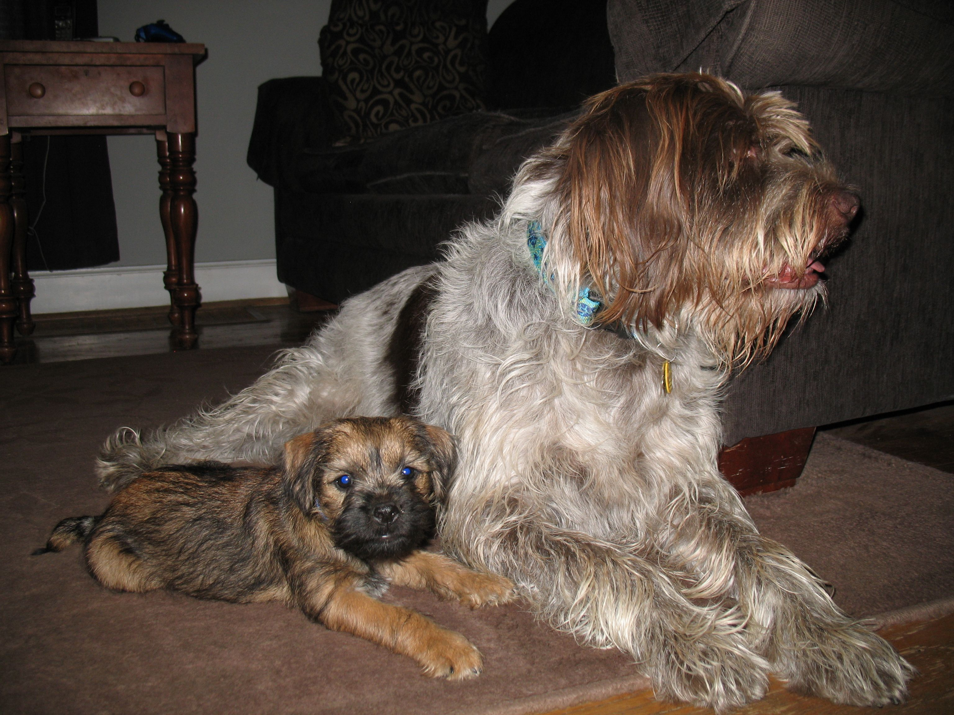 Border Terrier Pup And Best Friend Gwp German Wirehaired
