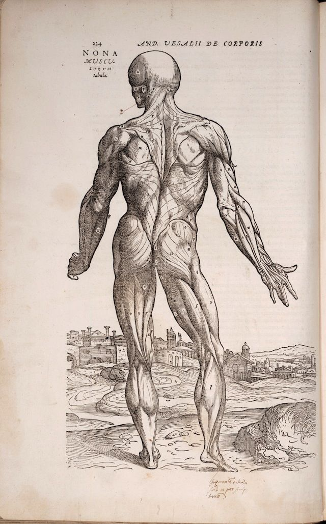 The Renaissance Anatomist Who Celebrated The Beauty Of Flayed Flesh