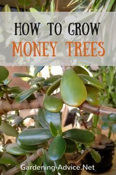 Money Tree Plant Care How To Look After Your Jade Plant Money Tree Plant Money Tree Plant Care Trees To Plant